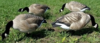 Dakota Fully Flocked Feeder Goose Decoys