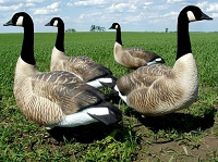 Dakota Fully Flocked Sentry Goose Decoys